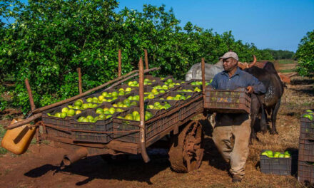 ¿Por qué Cuba produce hoy 10 veces menos cítricos que en 1990?